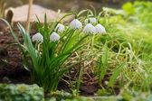 Group of early spring snowflake flowers, leucojum vernum — Stock Photo
