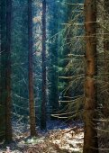 Dark forest with conifers — Stock Photo