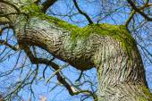 Warped old tree with rough bark and moss — Stock Photo