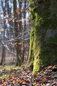 Strong trunk of a beech tree covered with moss — Stock Photo