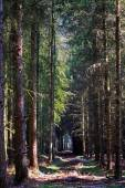 Path through a dark forest with conifers — Stock Photo