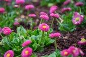 Pink daisies — Stock Photo