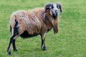 Ram with horns and  long fur on the pasture — Stock Photo