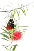 Butterfly on a pink flower isolated on white background — ストック写真