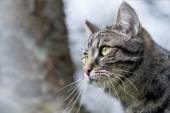 Head portrait of a tabby cat — Stock Photo