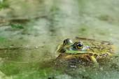 Water frog in the water — Stock Photo