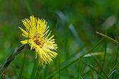 Coltsfoot flower in the green grass,  blurred background — Stock Photo