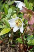 White hellebore flower — Stock Photo