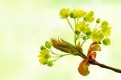 Spring flowers of the norway maple tree, Acer platanoides, again — Stock Photo
