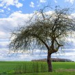 Old apple tree in spring against blue sky with clouds — Stock Photo #71164503