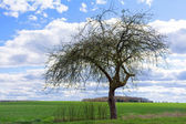Old apple tree in spring against blue sky with clouds — Stock Photo