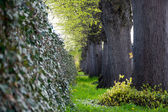 Ivy wall and a row of big old tree trunks — Stock Photo