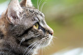 Tabby cat head profile, close up with copy space — Stock Photo