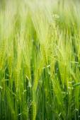 Nature background, green barley field — Stock Photo
