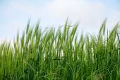 Green spikes in a barley field against the sky — Stock Photo