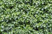 Lush and green ivy, Hedera helix, at a wall, background texture — Stock Photo