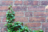 Ivy and aerial rootlets at a brick wall, background  power of na — Stock Photo