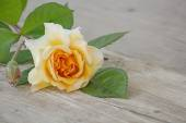 Rose buff beauty peach and apricot on an old wooden board — Stock Photo