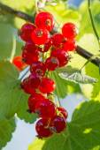 Grape of red currants on the bush in a sunny garden — Stock Photo