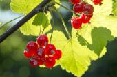 Summer berries in the garden, red currants on the bush — Stock Photo