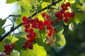 Twig with red currants in the sunny garden — Stock Photo