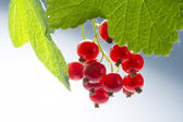 Hanging red currants between green  leaves — Stock Photo