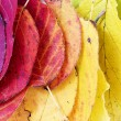 Autumn  background, colorful leaves arranged as a rainbow — Stock Photo #78473056