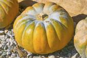 Pumpkin as decoration for autumn and  halloween — Stock Photo