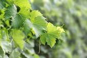 Vine leaves with tendrils against blurred background — Stock Photo