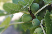 Immature green figs on the tree — Stock Photo
