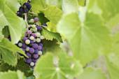 Mature and immature grapes of red wine behind blurred leaves — Stock Photo