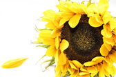 Sunflower and a single petal on a white background — Stock Photo