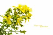 Yellow flower of St. John's wort, Hypericum perforatum, isolated — Stock Photo