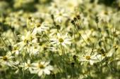 Tickseed or Coreopsis verticillata or Moonbeam with bright yello — Stock Photo