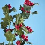 European Holly (Ilex aquifolium) leaves and fruit — Stock Photo #54363479