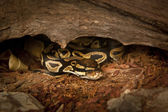 Royal ball python in terrarium — Photo