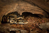 Royal ball python in terrarium — Stockfoto