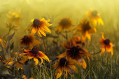 Yellow Echinacea — Stock Photo