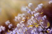 Clematis garden. — Stock Photo