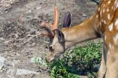 Young deer. — Stock Photo
