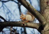 Squirrel glutton. — Stock Photo