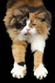 Stretching Cat — Stock Photo