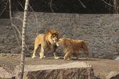 Lions love — Stock Photo