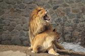 Lions property — Stock Photo