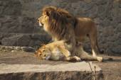 Cute Lions Family — Stock Photo