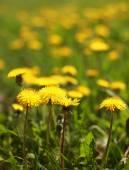 Sunny yellow dandelions closeup — Foto Stock
