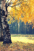 Autumn season, yellow foliage tree in forest background — Stock Photo