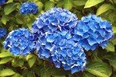 Blue Geranium flower — Foto de Stock
