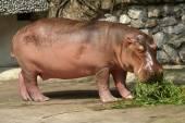 Hippopotamus — Stock Photo