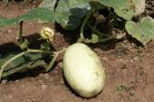 Marrow growing in a garden or land or field — Stock Photo